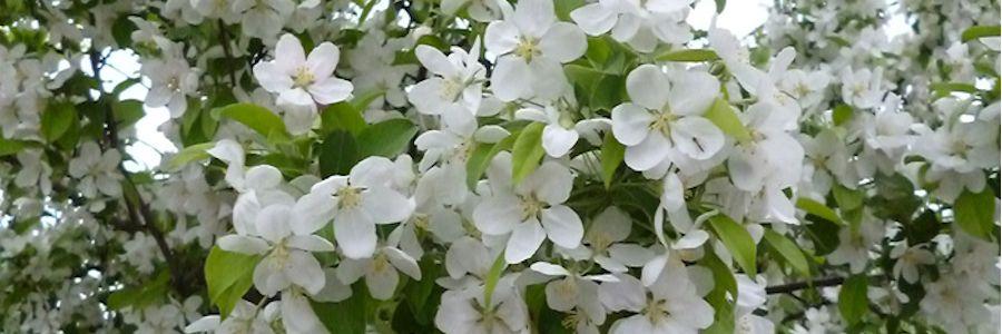 青森 りんごの花1