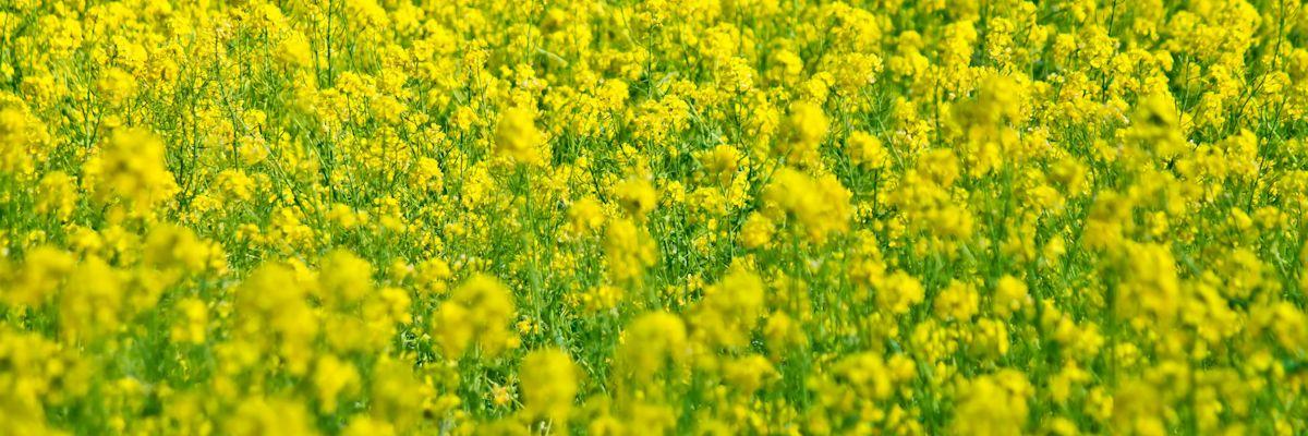 千葉県菜の花K_ichimennonanohana